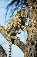 Leopard Panthera Pardus climbing tree