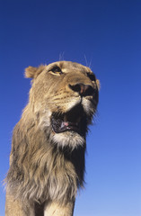 Male Lion against blue sky, low angle view
