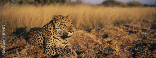 Leopard Panthera Pardus lying in grass on savannah