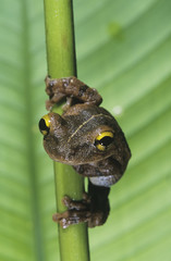 Tree frog on stem, close-up