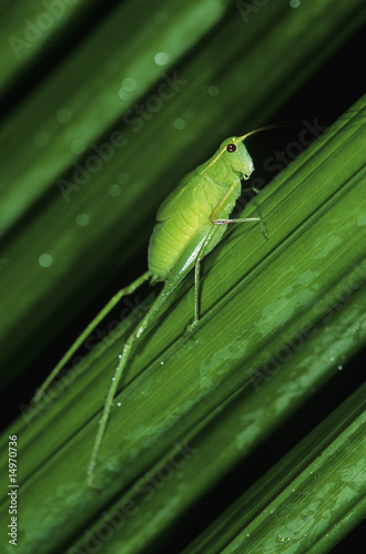 Green grasshopper on leaf