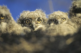 Young owls in nest at dusk
