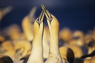 Two Gannets courting near colony