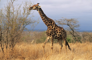 Maasai Giraffe Giraffa Camelopardalus on savannah