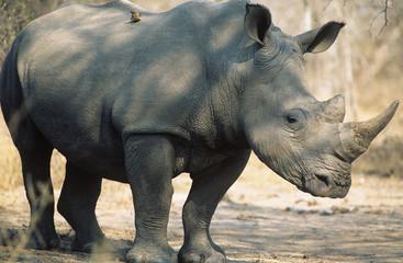 Black Rhinoceros Ceratotherium Simum