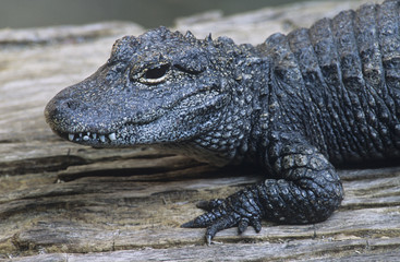 Alligator, close-up