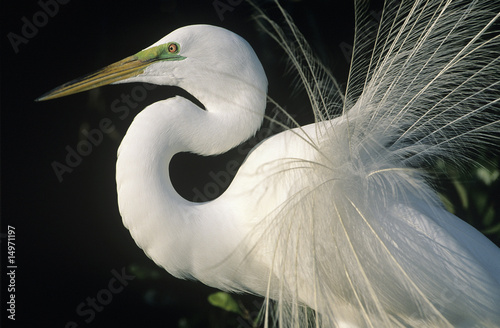 White Egret, close-up