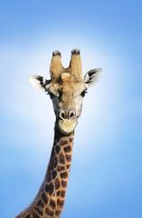Maasai Giraffe Giraffa Camelopardalus against blue sky