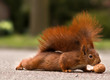 Red squirrel with walnut - Eichhörnchen