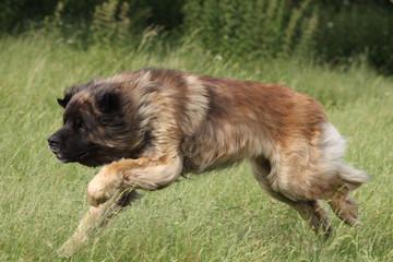 chien leonberg en course de trois quart - vitesse sport nature