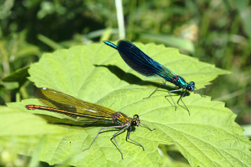 Two damselfly on a leaf