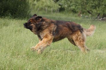 chien léonberg en course de profil - chien dans l'herbe