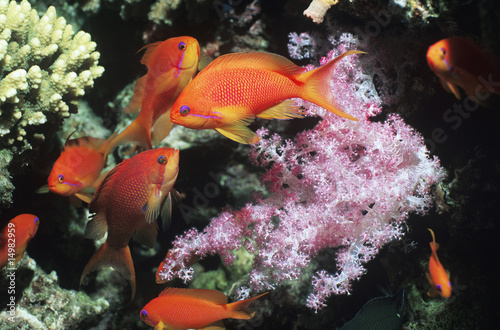 School of Flame Angelfish on reef