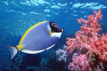 Blue Tang on coral reef