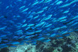 Large school of tropical fish in ocean