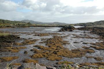 palustre irlandese