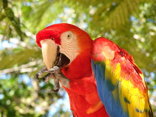 Florida Parrot