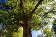 Baum über Tucholsky's Grab
