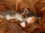 orphaned three week old calico kitten sleeping poster