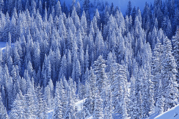 Pine trees in snow, elevated view