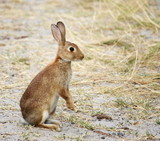 Wild rabbit on hind legs, alert.
