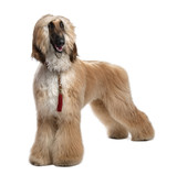 Young Brown Grommed Afghan Hound (1 years) poster