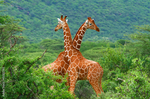 Plexiglas Afrika Fight of two giraffes