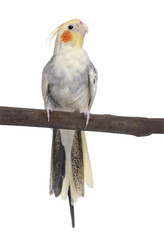 Cockatiel perching - Nymphicus hollandicus