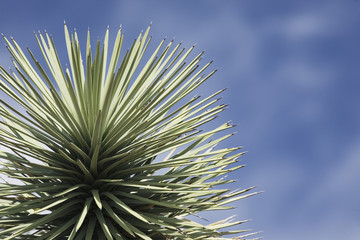 Joshua tree, close-up