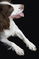 English Springer Spaniel, elevated view