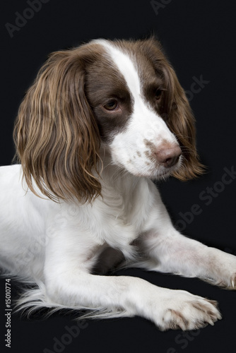 English Springer Spaniel, close-up