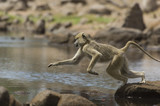 Macaque Macaca fascicularis jumping from rock to rock