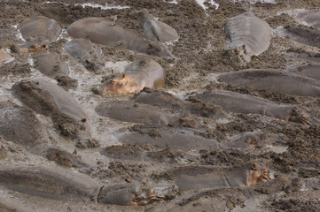 Large herd of hippopotami Hippopotamus amphibius wallowing in mud