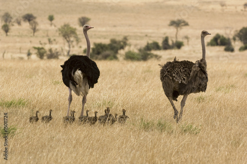 Two ostriches Struthio camelus with babies in savannah