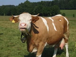 Oberbayerische Kuh
