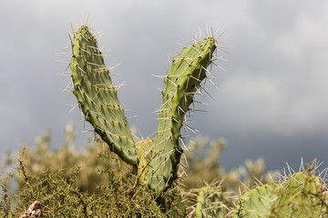 V-shaped leaves of zabar cactus, or prickly pear