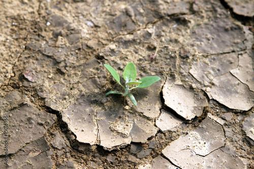 Zartes Pflänzchen in aufgeplatzer, trockener Erde - 15016966