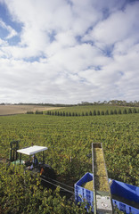 Harvesting wine grapes, Mornington Peninsula, Victoria, Australia