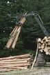 Plantation Eucalyptus Bluegum trees being prepared for woodchipping