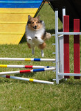 Shetland Sheepdog (Sheltie) leaping over jump at agility trial poster