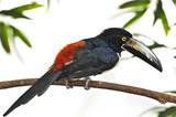 Collared Aracari toucan poster