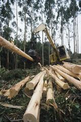 Plantation Eucalyptus Bluegum trees being harvested for woodchipping