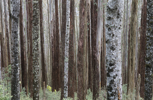 Trunks of Eucalypt Mountain Ash trees