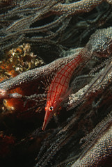 Mozambique, Indian Ocean, longnose hawkfish Oxycirrhites typus on black coral cirrhipathes sp., close-up