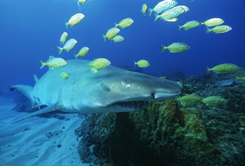 Sodwana Bay, Indian Ocean, South Africa, Sand tiger shark carcharias taurus and golden trevally gnathanodon speciosus