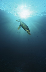 Raja Ampat, Indonesia, Pacific Ocean, hawksbill turtle Eretmochelys imbricata swimming in sunbeams shining through water surface, low angle view