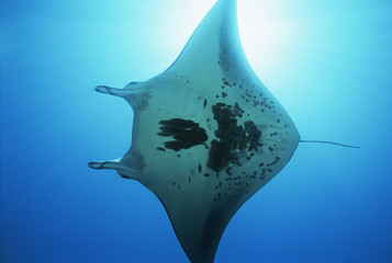 Raja Ampat, Indonesia, Pacific Ocean, manta ray Manta birostris, view from below