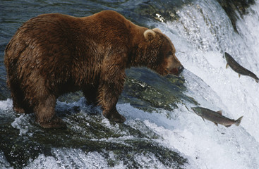 Brown Bear, grizzly bear looking at salmon, Katmai National Park, Alaska, USA.