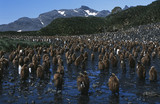 UK, South Georgia Island, colony of juvenile King Penguins on beach