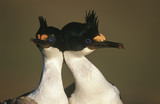 UK, Falkland Islands, King Cormorants head to head, close up